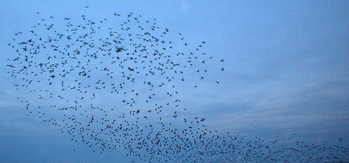 Swarm of starlings in evening sky